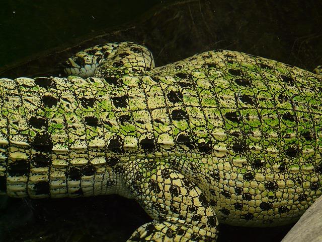krokodýl - detail