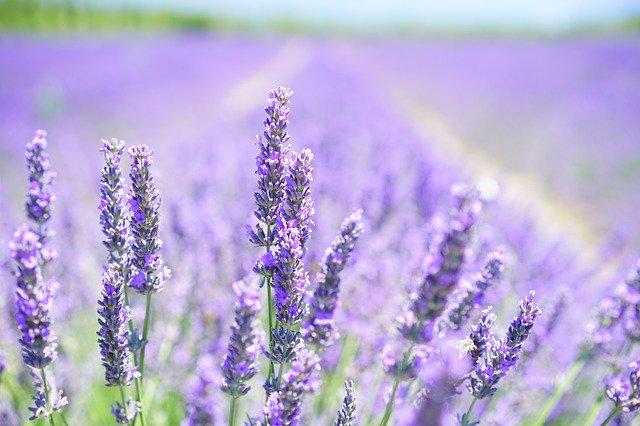 levandule, květ, pole